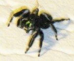 Bold Jumping Spider (Phidippus audax)
