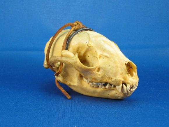 Raccoon skull non-HDR